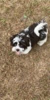 Mal-Shi Puppies for sale in Lawrenceville, GA 30044, USA. price: NA