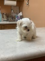 Mal-Shi Puppies for sale in Milwaukee, WI, USA. price: NA