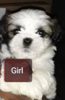 Mal-Shi Puppies for sale in Raleigh, NC, USA. price: NA