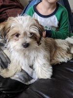 Mal-Shi Puppies for sale in Lakeville, OH 44638, USA. price: NA