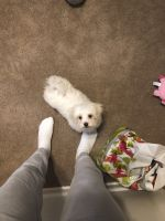 Mal-Shi Puppies for sale in Rosedale, MD, USA. price: NA