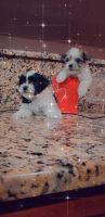Mal-Shi Puppies for sale in Orlando, FL, USA. price: NA