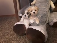Mal-Shi Puppies for sale in Colbert, WA 99005, USA. price: NA