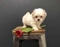 Mal-Shi Puppies for sale in Gaylord, MI 49735, USA. price: NA