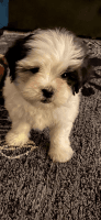 Mal-Shi Puppies for sale in Freehold, NJ 07728, USA. price: NA