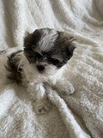 Mal-Shi Puppies for sale in Novi, MI, USA. price: NA