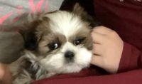Mal-Shi Puppies for sale in Spokane, WA, USA. price: NA