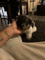 Mal-Shi Puppies for sale in Newark, NJ 07107, USA. price: NA