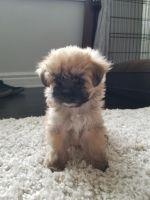Mal-Shi Puppies for sale in La Mirada, CA, USA. price: NA