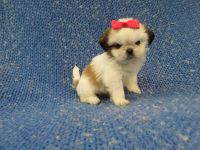 Mal-Shi Puppies for sale in La Habra Heights, CA, USA. price: NA