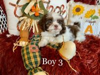 Mal-Shi Puppies for sale in Fort Wayne, IN, USA. price: NA