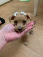 Mal-Shi Puppies for sale in San Diego, CA, USA. price: NA