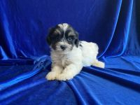 Mal-Shi Puppies for sale in Whittier, CA 90602, USA. price: NA