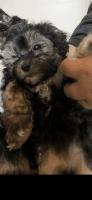 Mal-Shi Puppies for sale in San Jose, CA, USA. price: NA