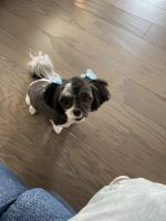 Mal-Shi Puppies for sale in Conroe, TX, USA. price: NA