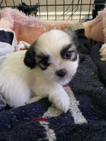 Mal-Shi Puppies for sale in Fontana, CA 92335, USA. price: NA