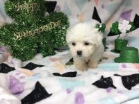 Mal-Shi Puppies for sale in Homestead, FL, USA. price: NA
