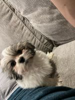 Mal-Shi Puppies for sale in South County, Mehlville, MO 63125, USA. price: NA