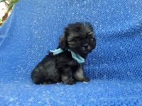 Mal-Shi Puppies for sale in Whittier, CA, USA. price: NA