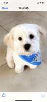Mal-Shi Puppies for sale in Wethersfield, CT 06109, USA. price: NA