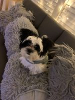 Mal-Shi Puppies for sale in Landover, MD 20785, USA. price: NA