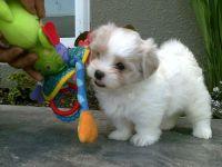 Mal-Shi Puppies for sale in Miami, FL, USA. price: NA