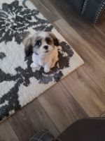 Mal-Shi Puppies for sale in Longmont, CO 80504, USA. price: NA