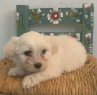 Mal-Shi Puppies for sale in Des Moines, IA 50320, USA. price: NA