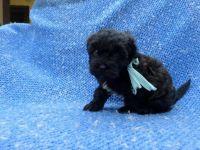 Mal-Shi Puppies for sale in Hacienda Heights, CA, USA. price: NA