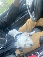 Maltese Puppies for sale in Fredericksburg, VA 22407, USA. price: NA