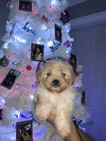 Maltese Puppies for sale in Las Vegas, NV, USA. price: NA
