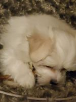 Maltese Puppies for sale in Stillwater, MN 55082, USA. price: NA