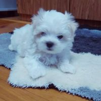 Maltese Puppies for sale in Key West, FL 33040, USA. price: NA