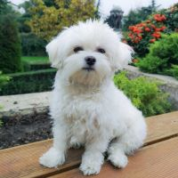 Maltese Puppies for sale in Houston, TX, USA. price: NA