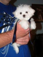 Maltese Puppies for sale in San Francisco, CA, USA. price: NA