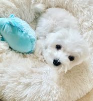 Maltese Puppies for sale in Fort Worth, TX, USA. price: NA
