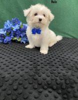 Maltese Puppies for sale in Edison, NJ, USA. price: NA