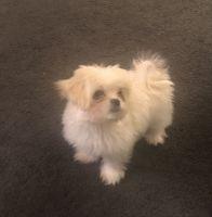 Maltese Puppies for sale in Augusta, GA, USA. price: NA