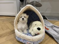Maltese Puppies for sale in New York, NY, USA. price: NA