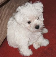 Maltese Puppies for sale in Texas City, TX, USA. price: NA
