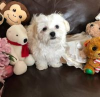 Maltese Puppies for sale in Hollywood, Los Angeles, CA, USA. price: NA