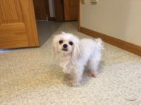Maltese Puppies for sale in Fairbanks, AK, USA. price: NA