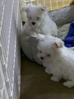 Maltese Puppies for sale in U.S. Bank Tower, Los Angeles, CA 90071, USA. price: NA