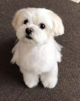 Maltese Puppies for sale in TX-8 Beltway, Houston, TX, USA. price: NA