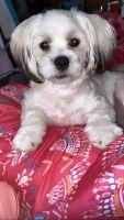 Maltese Puppies for sale in Homestead, FL, USA. price: NA