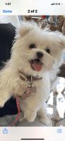 Maltese Puppies for sale in Oklahoma City, OK, USA. price: NA