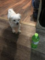 Maltese Puppies for sale in Jackson, OH 45640, USA. price: NA
