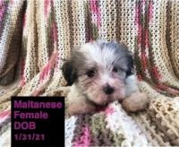 Maltese Puppies for sale in Amsterdam, MO 64723, USA. price: NA