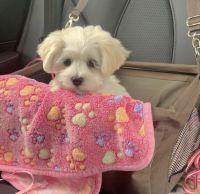 Maltese Puppies for sale in Miami, FL, USA. price: NA