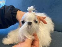 Maltese Puppies for sale in Chino Hills, CA, USA. price: NA